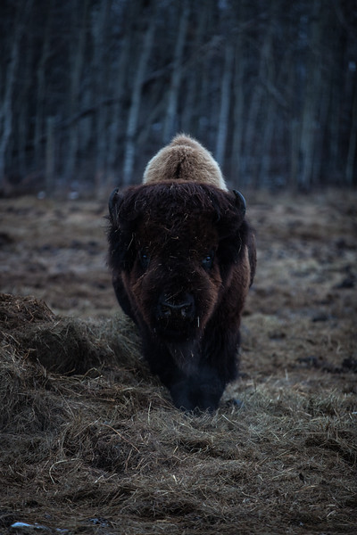 AHP171212_buffalo1412.jpg