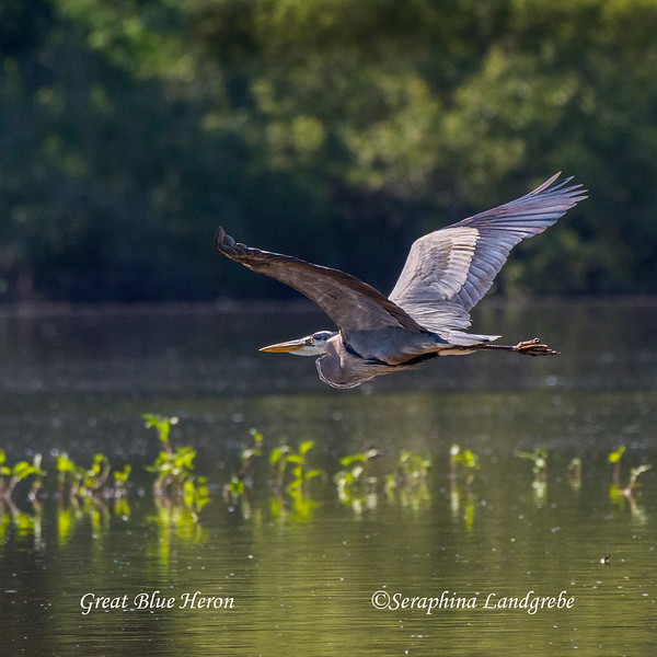 _DSC7393Great Blue Heron.jpg