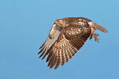 Hawks, Falcons, & Kites