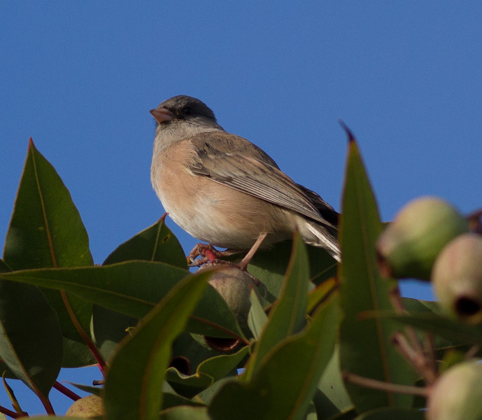 Pink-sided Junco  Fort Rosecrans National Cemetary 2014 10 11 (201412 of 3).CR2