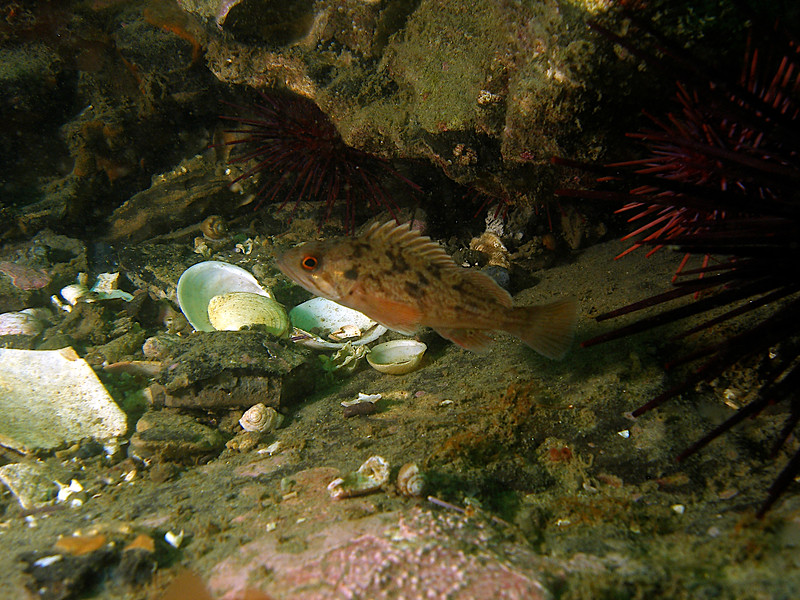 Juvenile Brown Rockfish, notice the dar mark on the Gill plate and the red ring around the eye, Tajiguas reef
