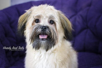 Roxy the Shih Tzu Pomeranian Mix (7 Months old)