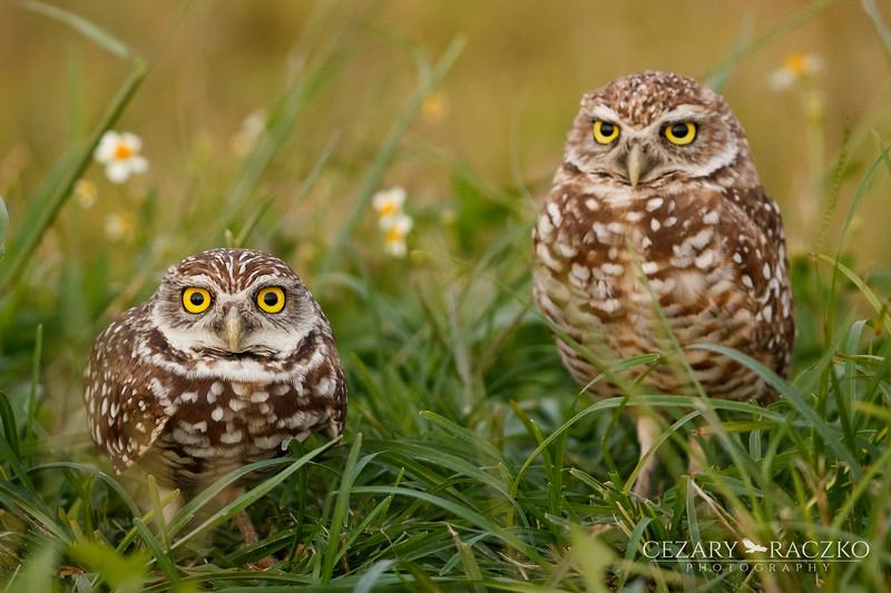 Burrowing Owls (Athene cunicularia)
