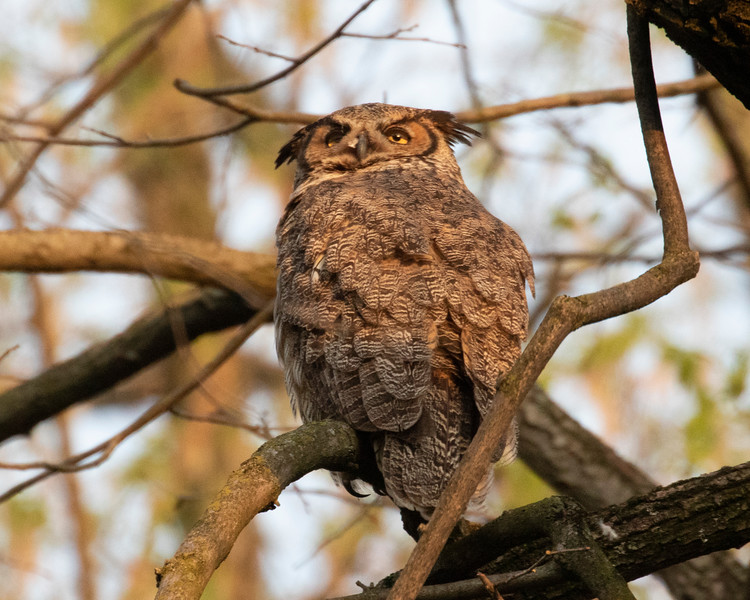 Adult Great Horned Owlet
