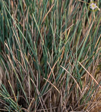 Corynéphores (Corynephorus)