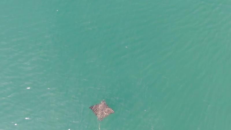 Eagle Ray Stingray aerial view