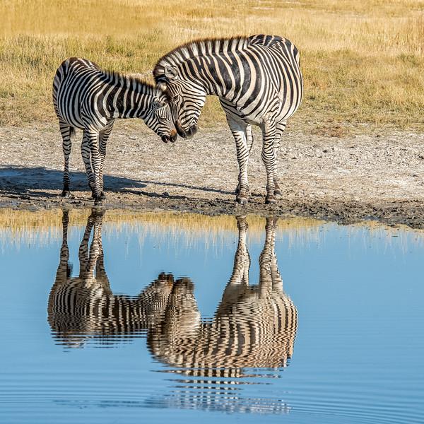 Z_1_2006_B_Bruchell Zebras.jpg