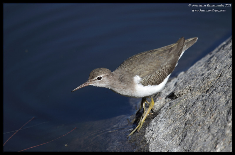 Spotted Sandpiper, Santee Lakes, San Diego County, California, December 2011