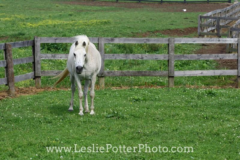 Gray Arabian Horse in Pasture