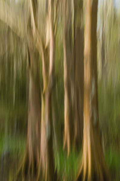 Tony likes to be creative with ordinary images.  Here are some cypress trees in the middle of the swamp.  By using a slow shutter speed and moving your camera downward you get this painterly image - this technique is called a swipe.