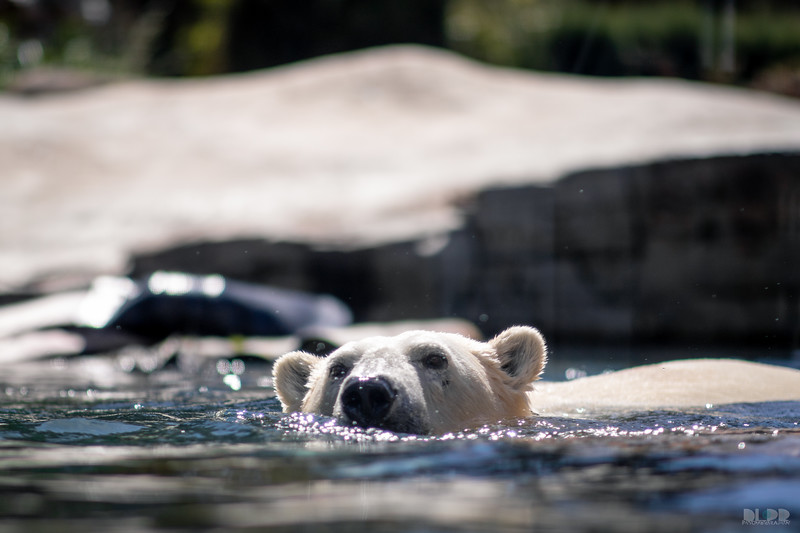 polar bear 003.jpg