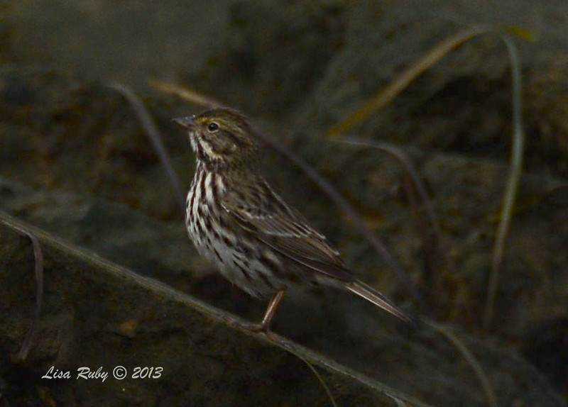 Belding Savannah Sparrow - Salt Works - 10/27/13