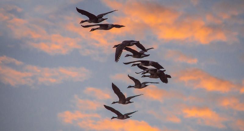 geese sunset-0436.jpg