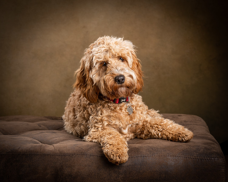 124672-Bob-the-Cockapoo.jpg