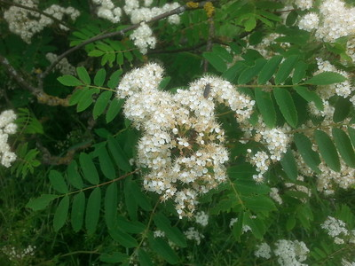 Rowan, Mountain Ash (Sorbus aucuparia)