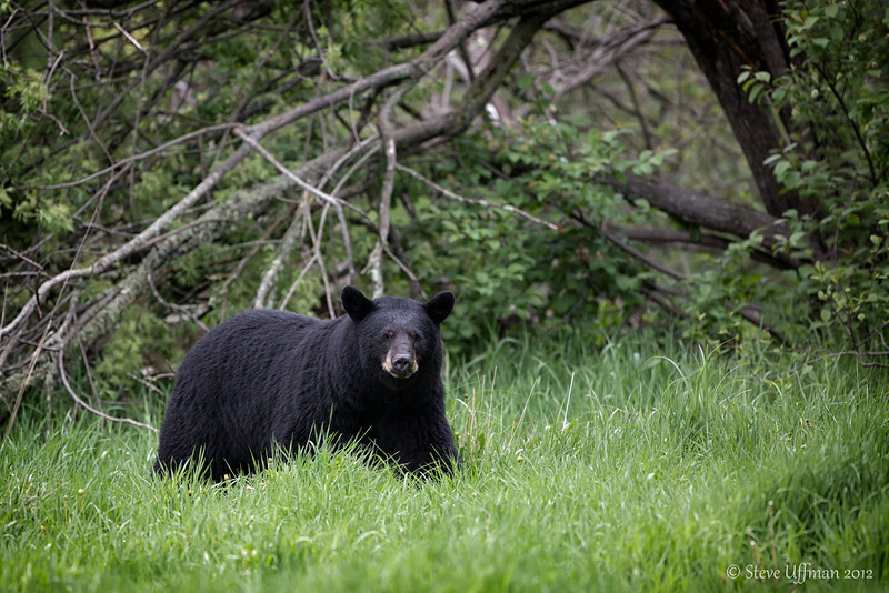 20120520-_Q2C6632Black_Bears-Edit.jpg