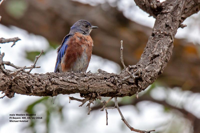 IMG_7331 4 crp male Western Bluebird Ft Bayard NM.jpg