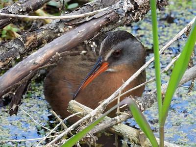 20200516 Hogsback & Pigeon River Wildlife