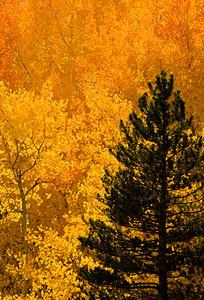 Fall Color - Bishop, CA