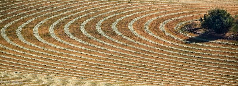 Idaho Wheat Field