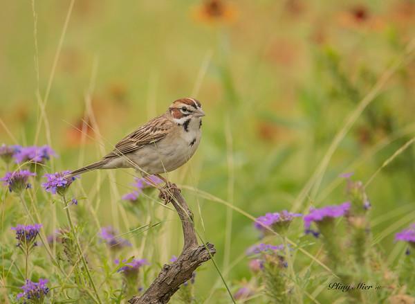 Lark Sparrow_DWL0404.jpg