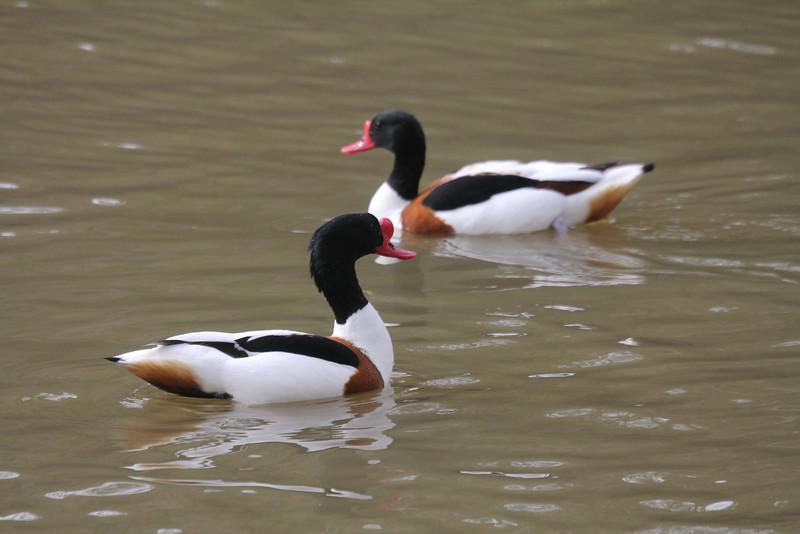 two male shelducks