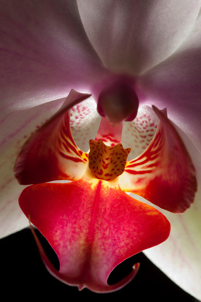 Pink Orchid Close Up