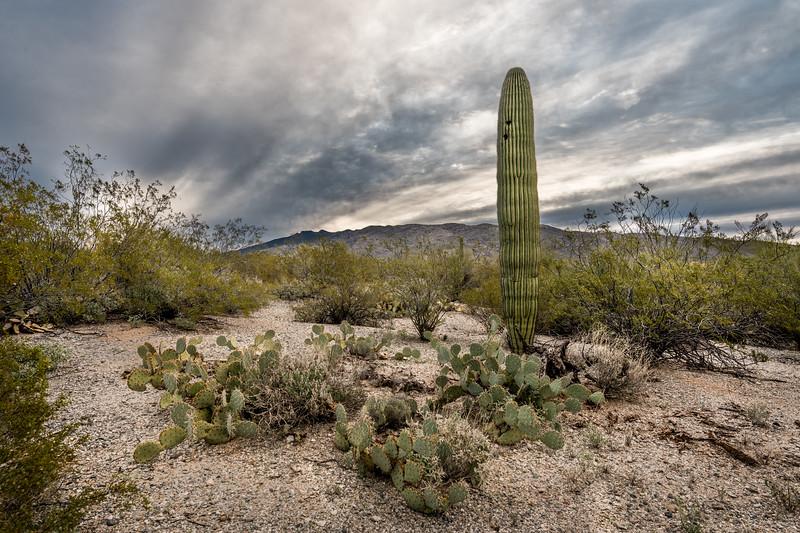 Saguaro, Prickly Pear, and Dramatic Sky