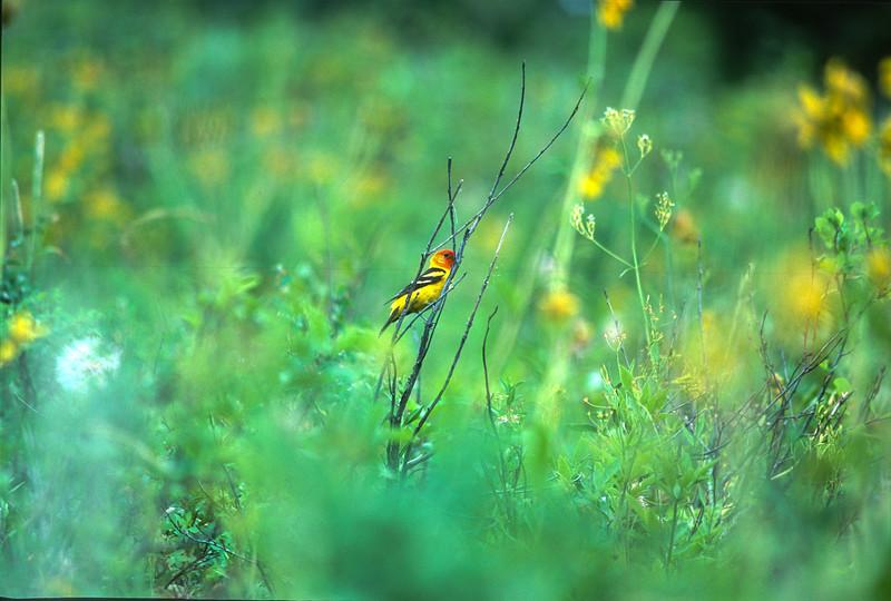 Western Tanager Jackson Hole? WY SLIDE SCAN BIRDS-64.jpg