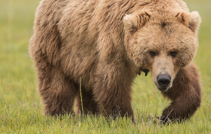 alaska-bears-10.jpg