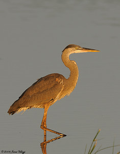Great Blue Heron, Ardea herodias