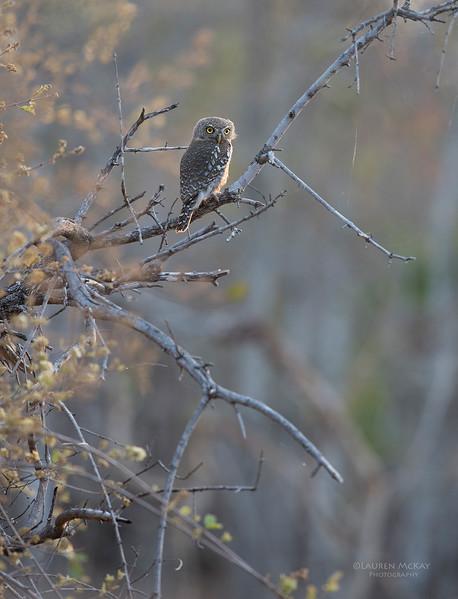 Pearl-spotted Owlet, Sabi Sands (EP), SA, Oct 2016-1.jpg