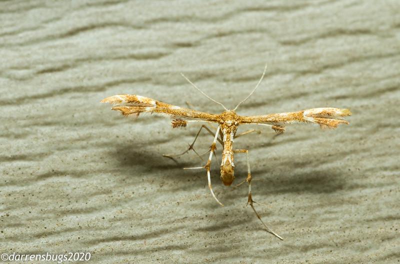 Plume moth (Pterophoridae: Platyptiliini) from Iowa.