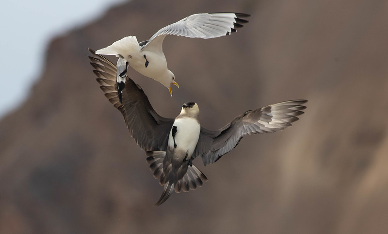 Where there are seabird cliffs, there are predators and kleptoparasites, like this light-morph Parasitic Jaeger (which also happened to have a nest nearby). This particular Black-legged Kittiwake declined to be mugged.