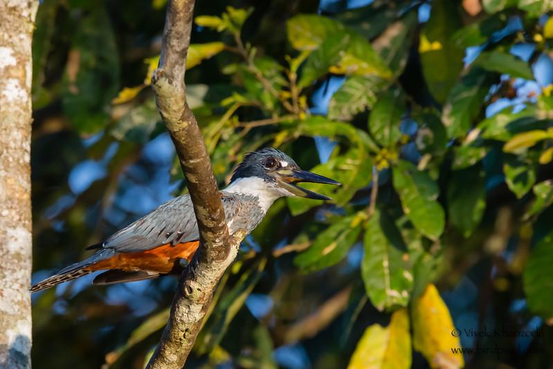 Ringed Kingfisher - Oxbow lake near Tambo Blanquillo Lodge, Peru