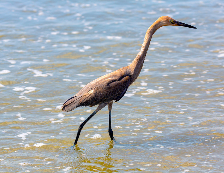 Another Reddish Egret forages in the surf.