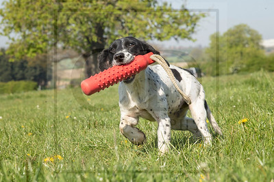 KIRKBOURNE SPANIELS - OVERS MORNING (20/4/19)