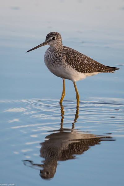 Reflection of a Yellowlegs