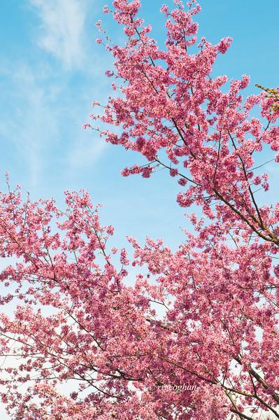 April 10_BranchBrookCherryBlossoms_7545.jpg