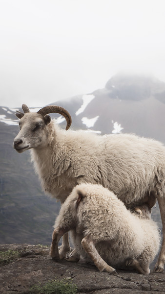 sheep.mobile.jpg