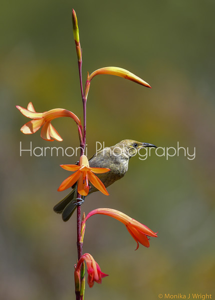 Harmoni Photography Honeyeaters (Various)