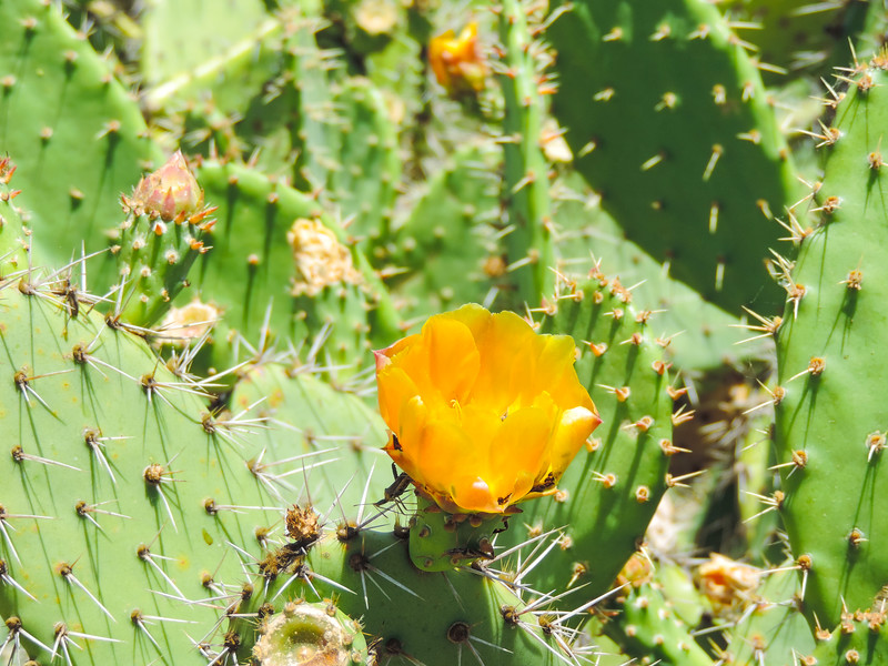 Coastal Pricklypear  (Opuntia littoralis) CACTACEAE