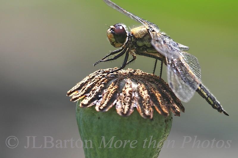 Praying Dragonfly