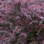 red barberry.jpg