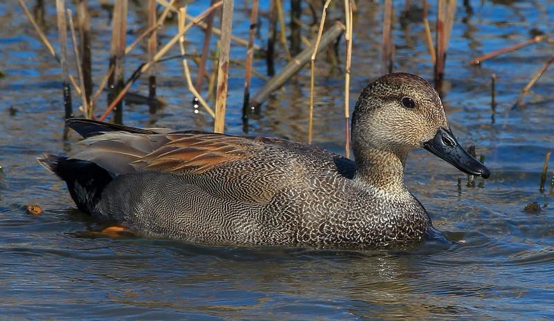 zzAnahuac,2-16-16 345B, Gadwall Duck.jpg