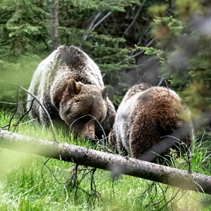 6-21-20 Grizzly Bears KCountry