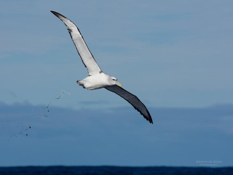Shy Albatross, Eaglehawk Neck Pelagic, TAS, July 2015-10.jpg