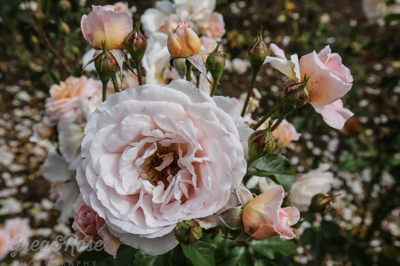 Rose - My Josephine
