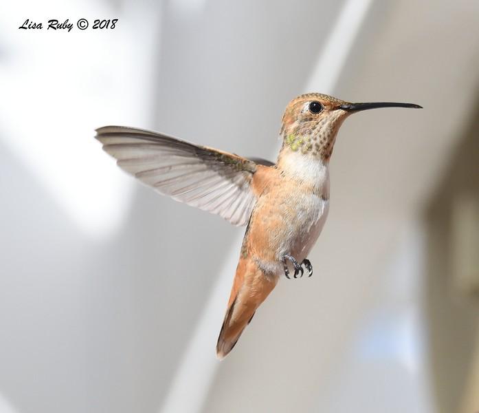 Rufous/Allen's Hummingbird - 4/27/2018 - Sabre Springs backyard