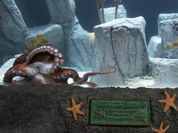. Like the other members of the octopus family...[Giant Pacific Octopi] use special pigment cells in their skin to change colors and textures, and can blend in with even the most intricately patterned corals, plants, and rocks. (Photograph provided by National Geographic Channels)
